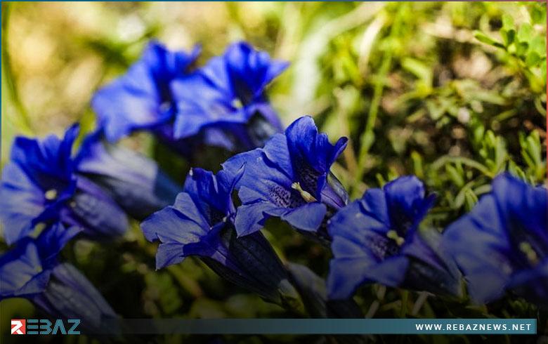دراسة ألمانية تستكشف أسباب ندرة الزهور الزرقاء في الطبيعة